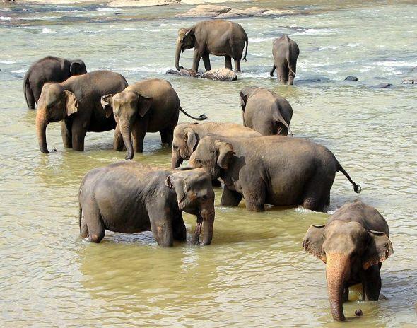 Bathing time. Elephants at the Pinawella Elephant Orphanage, Sri Lanka. Photo: wikipedia